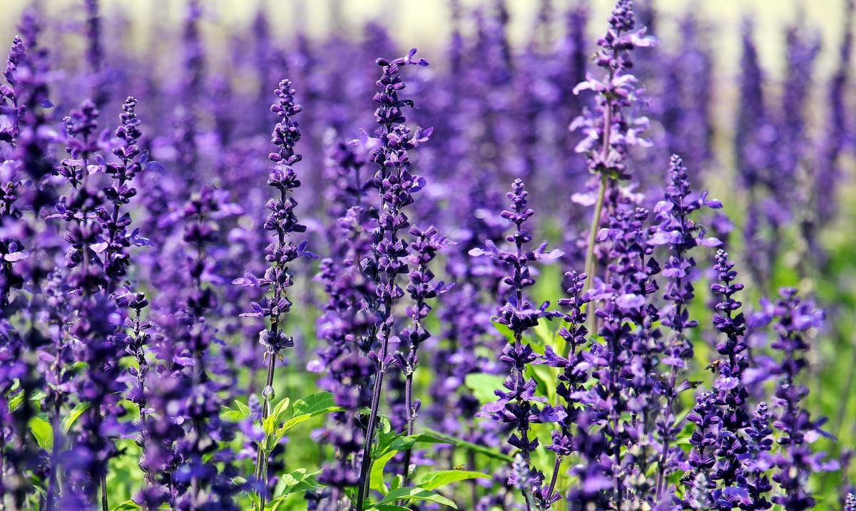 Garden designers need to explain that lavender should be cut back after flowering to stop it getting woody